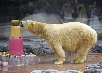 Inuka, the first polar bear born in the tropics, enjoys an ice cake during its 25th birthday celebrations at the Singapore Zoo