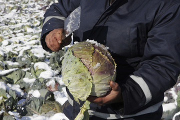 A man harvests cabbages in his field before sending them to the market in the village of Komorane near Pristina