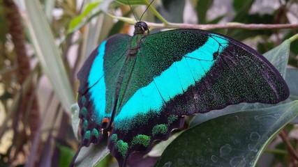 farfalla azzurra e verde con grandi ali puntinate