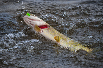 Pike with red gills on hook in boiling water.Trophy pike caught on a jig.Fish on the hook.Pike fishing spinning, pike catching.
