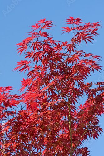 japanischer f cherahorn acer palmatum photo libre de droits sur la banque d 39 images fotolia. Black Bedroom Furniture Sets. Home Design Ideas