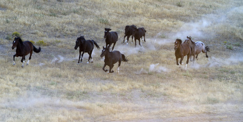 Wild horses run as they are gathered by the Bureau of Land Management in the Conger Mountains near Border