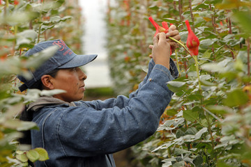 A worker prepares roses for export before the upcoming Valentine's Day in Cayambe, Ecuador