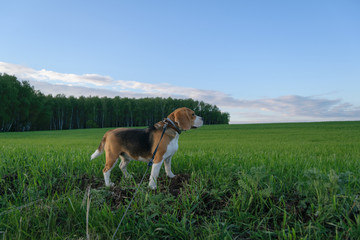 Beagle on a walk in a green field on the forest background
