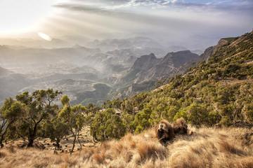 Ethiopia. Semien Mountains. Gelada Baboon.