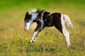 Beautiful piebald pony foal  run fast in green pasture