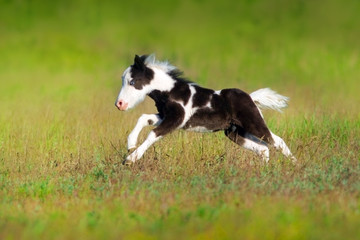 Beautiful piebald pony foal  run fast in green pasture