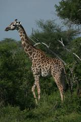 Wild Giraffe mammal africa savannah Kenya (Giraffa camelopardalis)