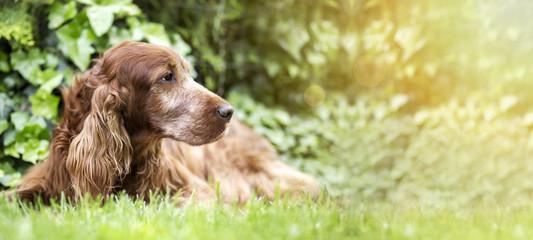 Website banner of a cute old Irish Setter dog