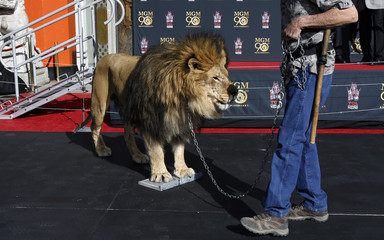 MGM mascot Leo the Lion puts his paw prints in cement in the forecourt of the TCL Chinese theatre in Hollywood