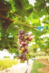 Non-toxic fresh red grape in the garden