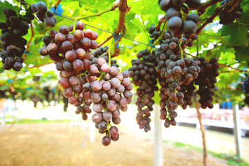 Non-toxic fresh red grape in the garden