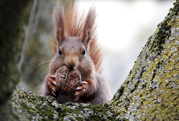 Red squirrel sits in a tree as it holds walnut in Frankfurt's city centre