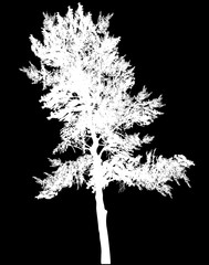 white pine single silhouette on black