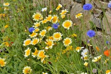 Fleurs des bords de routes en Bretagne dans le Trégor