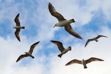 gull birds flight over ocean sky