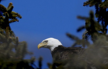 An American Bald Eagle perches high in a pine tree above the Hudson River at Croton Point in Croton-on-Hudson