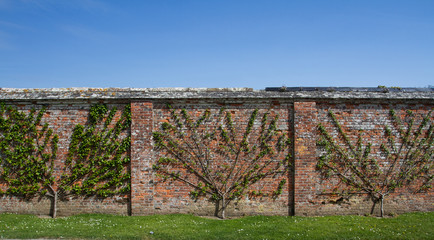 Rows of espalier trees that have been pruned and trained to grow against an old brick wall with copy space and blue sky above.