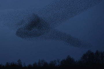 Thousands of starlings fly in a 'murmuration' as they return to roost at dusk near Glastonbury in Somerset, south west England