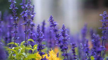 Purple Tulip Garden