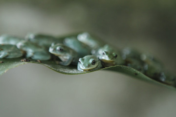 Tree frogs sit on a leaf at an amphibian feeding camp outside Hanoi