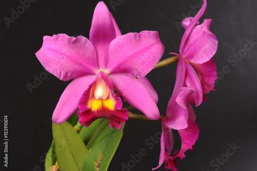 orchidee cattleya stockfotos und lizenzfreie bilder auf. Black Bedroom Furniture Sets. Home Design Ideas
