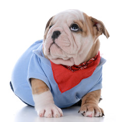 male bulldog puppy