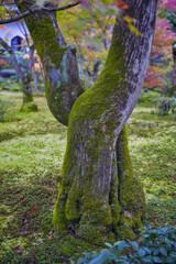 Tree bark covered with moss in maple garden during autumn in Japan