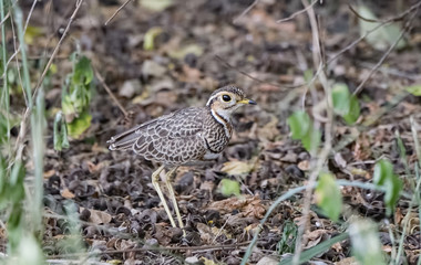 A Cryptic Two-banded Courser (Rhinoptilus africanus) Stands in Deep Brush in Northern Tanzania