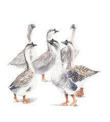 Goose farm animal pet geese house birds watercolor painting illustration isolated on white background