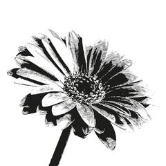 petali fiore