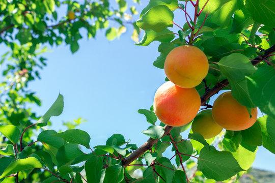 Fresh ripe apricots on tree. Sunny day.