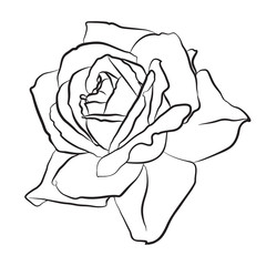 Beautiful hand drawn sketch rose, isolated black contur on white background. Botanical silhouette of flower