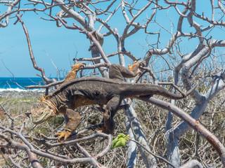 Galapagos land iguana (Conolophus subcristatus) on a tree Santa Cruz Island Galápagos Ecuador