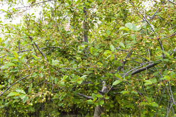 Fresh ripe cherry pictures on the cherry tree