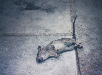 Dead rat death on the sidewalk. Selective focus with place your text