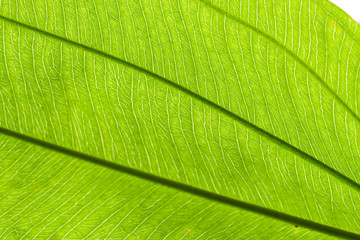 line texture on green leaf