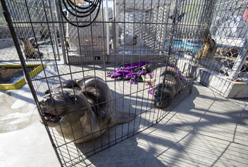 Two elephant seal pups named Chowder and Lobster rest in their enclosure after being rescued at the Pacific Marine Mammal Center in Laguna Beach