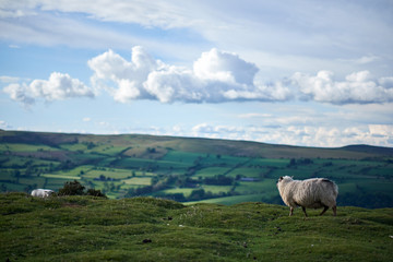 sheeps on a welsh mountain
