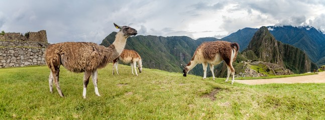Panorama with lamas at Machu Picchu ruins, Peru