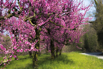 Peach trees filled with pink flowers in a garden