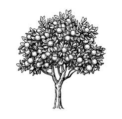 Illustration of orange tree