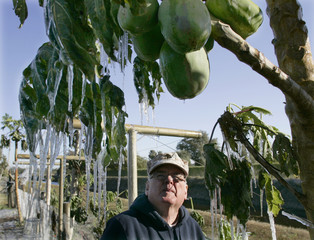 Ice hangs from a papaya tree after homeowner Bob Parker (below) turned on irrigation in hopes of saving the fruit in Loxahatchee