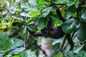 Howler monkey in Panama Rainforest Discovery Center