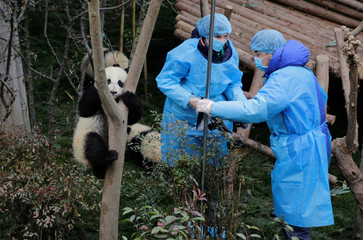 Baby giant pandas play as breeders set up a camera at Chengdu Research Base of Giant Panda Breeding in Chengdu