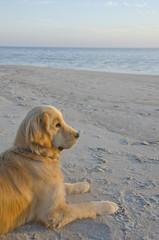 Golden Retriever Puppy Watching Sunset on the Beach
