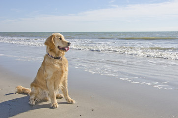 Golden Retriever Puppy on the Beach