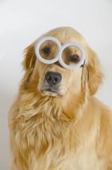 Golden Retriever Wears Round Minion Glasses