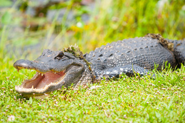 Wild aligator after emerging from pond by Florida everglades.
