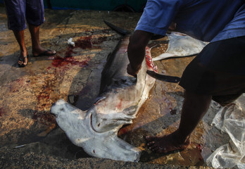 A man slices the fin of a hammerhead shark at the dock of the Mirissa Fisheries Harbour in south Sri Lanka